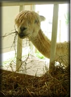 Alpacas are Easy to Care For