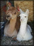 Alpacas are Earth-Friendly