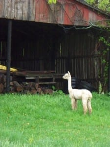Alpacas Checking Out the Barn