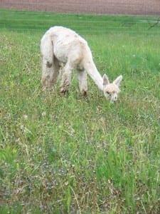 Alpacas Enjoying the Green Grass