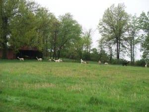 Alpacas Exploring the Pasture