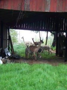 Alpacas in the Barn
