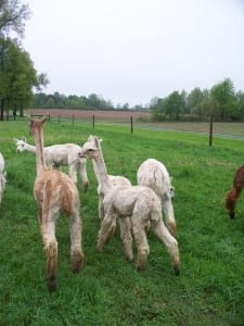 First Steps into New Pasture
