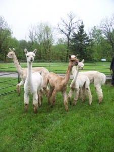 Moving Alpacas Day