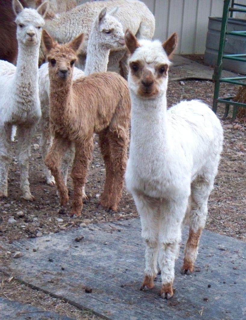 Alpacas for Sale at Alpaca Meadows