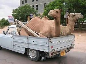 Camelid Deliveries