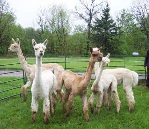 Alpaca Farm Tours at Alpaca Meadows