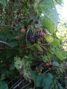 Blackberries at Alpaca Meadows