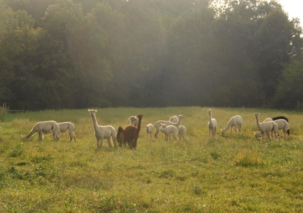 Alpacas in the Pasture