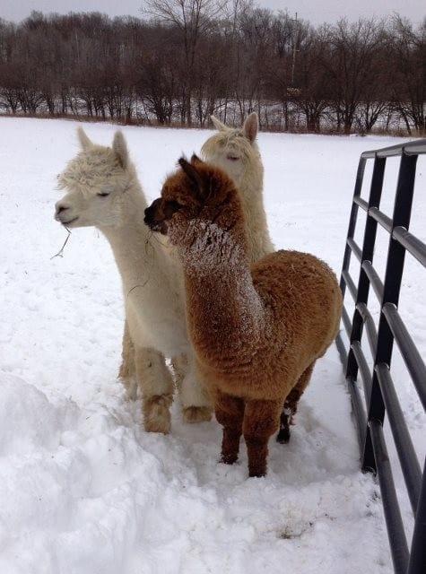 Alpacas in Winter
