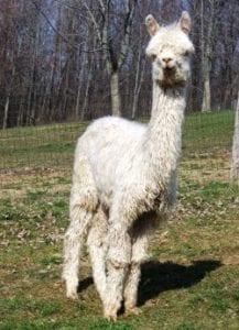miss miami suri alpaca