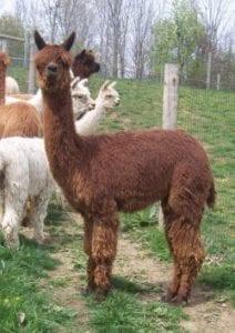 Alpacas for Sale at Alpaca Meadows, Mabelle