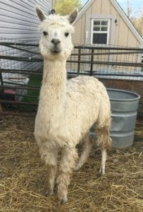 Alpacas for Sale at Alpaca Meadows, Luminous