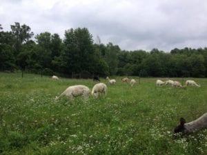 Alpacas Grazing in Pasture